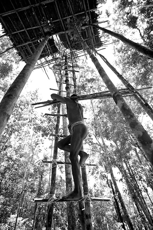 west papua, indonesia. kombai man carying wood for repairs to the roof of his tree top home