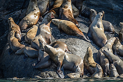 Among the concerns related to the proposed Juneau Access Improvements Project is the Steller sea lion haulout at Gran Point (pictured). The haulout at Gran Point is a designated Steller sea lion Critical Habitat Area. According to the Alaska Department of Transportation's 2014 Juneau Access Improvements Project: Draft Supplementary Environmental Impact Statement, more than one hundred Steller sea lions (Eumetopias jubatus) have been counted at the haulout during the spring and fall. As currently proposed the proposed highway would be built just uphill from the haulout area, approximately 100 to 600 feet horizontally and 50 to 100 feet vertically.<br /> <br /> Highway plans near the haulout includes blasting steep rock-cut embankments and several tunnels with one tunnel entrance only 550 feet away from the haulout. There is concern for haulout abandonment by the sea lions during highway construction as studies have shown Steller sea lions are very sensitive to noise, both in and out of water. Because Steller sea lions frequent Gran Point nearly year round, the use of explosives and helicopters will be challenging during construction.<br /> <br /> There are two distinct populations of Steller sea lions in Alaska. The majority of Stellar sea lions that frequent the Lynn Canal are part of the eastern population of Steller sea lions which are not listed as endangered under the Endangered Species Act; unlike the western population of Steller sea lions which are listed as endangered. That said however, there have been confirmed sightings of the western population Steller sea lions at Gran Point.<br /> <br /> The Juneau Access Improvements Project is a proposed $570-million highway project to extend Glacier Highway out of Juneau for closer road access to the southeast Alaska towns of Haines and Skagway. Juneau's roads do not connect with the continental road network.