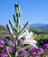 I came in close with my 4x5 camera to get this detailed photo of a rare Desert Lily in Anza Borrego Desert State Park. This inspiring wildflower rises from the desert sand with a soft focused mountain range in the background,.  The bright white flower sits in a bed of pink flowers with a sky blue sky.