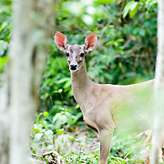 Deer in the jungle..Riviera Maya, Quintana Roo. .Mexico.