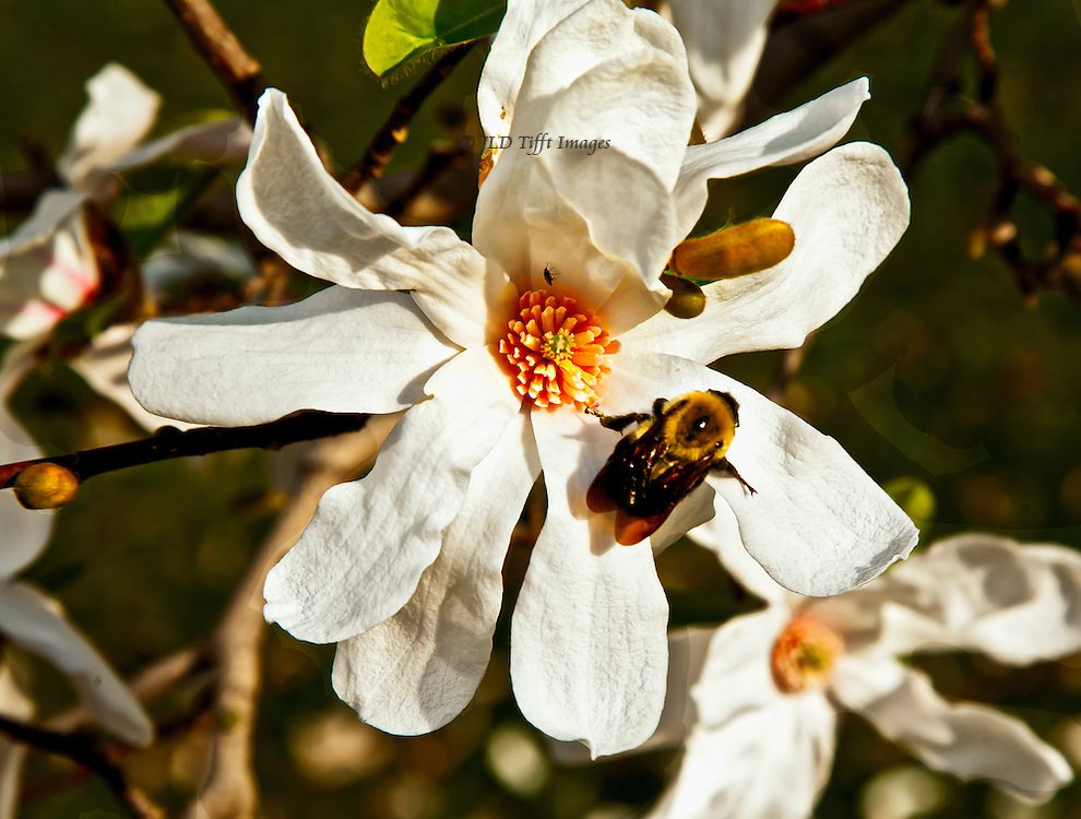 Yellow bee visits a large star magnolia bloom on its tree