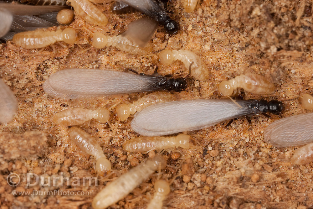 subterranean termites (Reticulitermes flavipes) workers and winged reproductives  (Family: Rhinotermitidae). Central Texas.