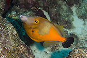 Whitespotted Filefish Orange Phase (Cantherhines macrocerus)<br /> BONAIRE, Netherlands Antilles, Caribbean<br /> HABITAT &amp; DISTRIBUTION: Reef tops usually in pairs.<br /> Florida, Bahamas, Caribbean, Gulf of Mexico, Bermuda &amp; south to Brazil.