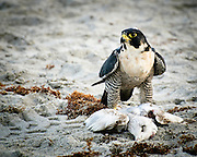 A Peregrine Falcon on the beach with his prey at Cocoa Beach, Florida