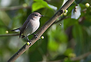 The little pied flycatcher (Ficedula westermanni) is found in the Indian Subcontinent and Southeast Asia, as far east as Indonesia and the Philippines.  It is not considered to be a threatened or endangered species.   This individual, a female, was photographed in Assam State, India.