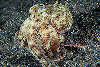 Coconut Octopus crawls along the black sand bottom.<br /> <br /> Shot in Indonesia