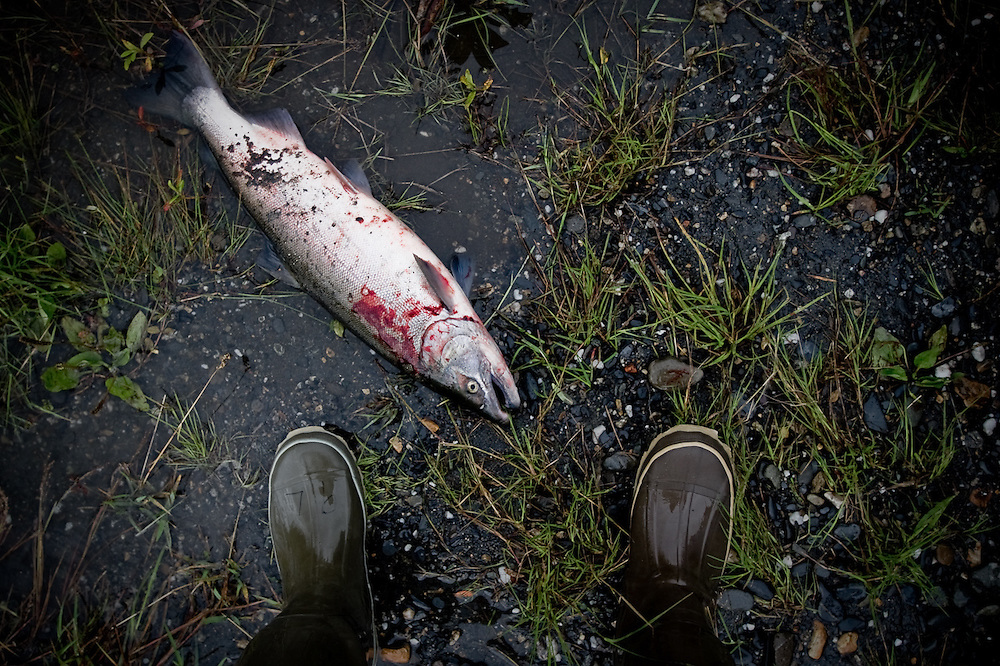 A bloodied Silver Salmon from the Talkeetna River, Alaska.  During the fishing season, fisherman are allowed to keep three fish per day.