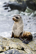 Antarctic Fur Seal (Arctocephalus gazella) weaner, South Georgia Island.
