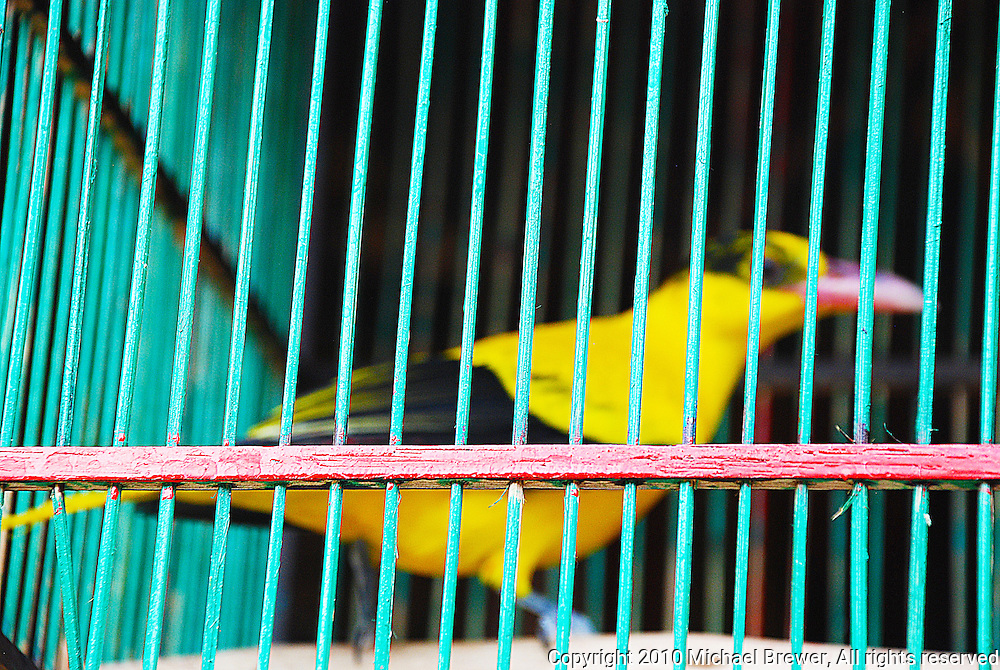 Our friend Sarga's yellow bird in a green and red cage in Bali, Indonesia.