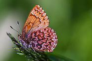 Callophrys e. eryphon - Western Pine Elfin
