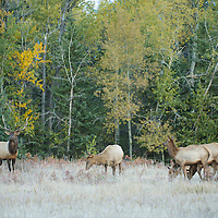 bull elk with herum