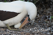 A Nazca booby sits on its nest with its egg on Genovesa island in the Galapagos, Ecuador.