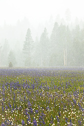"""Snowy Sagehen Meadows 1"" - This field of Camas wildflowers was photographed during a snow storm at Sagehen Meadows, near Truckee, California."