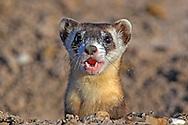 Wild, endangered Black-footed ferret (Mustela nigripes) in open grassland prairie habitat
