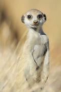 Auch dieses etwa zwei Monate alte Jungtier hat schon die typische Erdmännchen-Pose erlernt. Durch die so menschlich wirkende, aufrechte Körperhaltung und die unserer eigenen Ohrmuschel so ähnlichen Ohren  haben die Erdmännchen (Suricata suricatta) einen hohen Sympathie-Faktor und verleiten oft zum Schmunzeln.  |  Suricate or Slender-tailed Meerkat (Suricata suricatta)