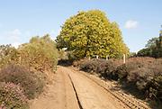 Sweet chestnut tree, Castanea sativa,  heath vegetation in Suffolk Sandlings heathland, Sutton, Suffolk, England, UK