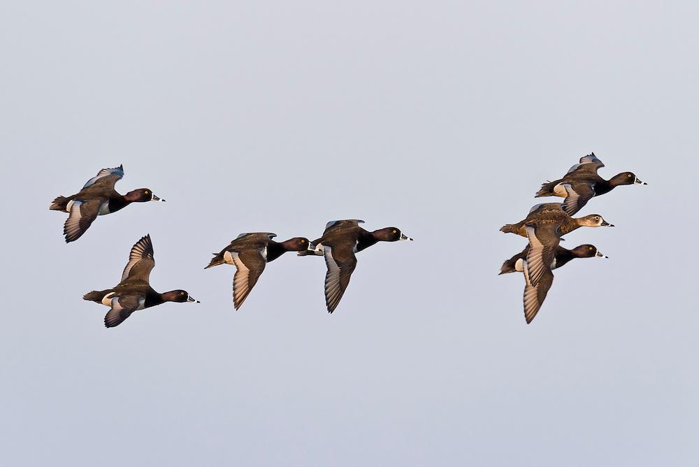 Ring-necked Ducks, Aythya collaris, Harsen's Island, Michigan