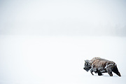 American bison (Bison bison) covered in frost walking in snow landscape during winter in Yellowstone National Park