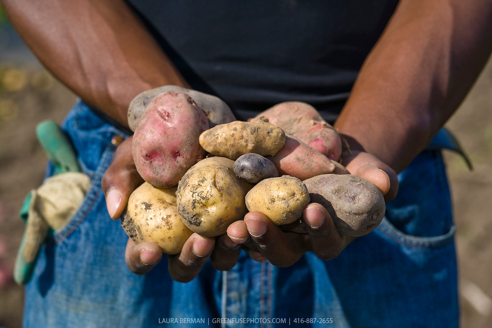 A farmer holds a handful of freshly harvested purple, yellow, red, pink and white  heirloom potatoes.