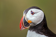 Close up picture of Puffin. What do you see if you look in his eyes? | Nærbilde av lundefugl. Hva ser du om du ser nøye etter i øyet dens?