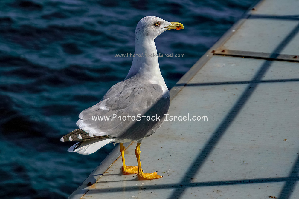 close up of the orange feet of a Seagull. Photographed in  Greece in October