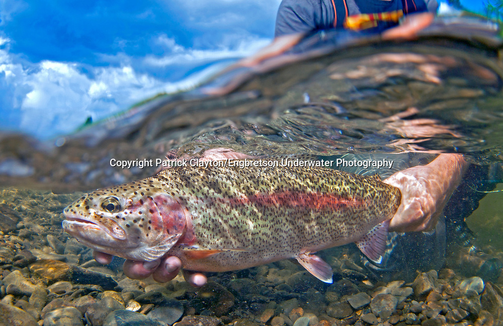 Rainbow Trout (Leopard Rainbow Trout)<br /> <br /> Patrick Clayton/Engbretson Underwater Photography