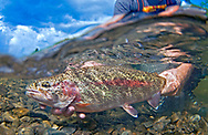 Rainbow Trout (Leopard Rainbow Trout)<br />