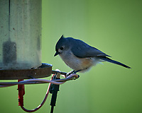 Tufted Titmouse. Image taken with a Nikon D5 camera and 600 mm f/4 VR lens (ISO 900, 600 mm, f/5.6, 1/1250 sec)
