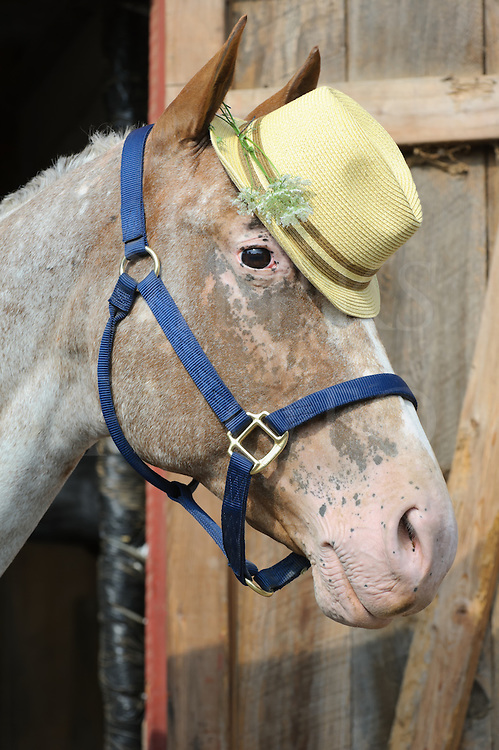 Horse wearing fedora hat of yellow straw with a wildflower in it, a purebred Appaloosa head shot.