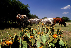 longhorn cattle grazing in a field with cactus