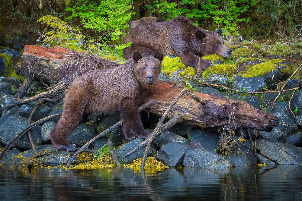 Brother Grizzly posing for us while Mama and Daughter rest