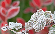The beauty of frost on Rasberry and Blueberry leaves in fall colors