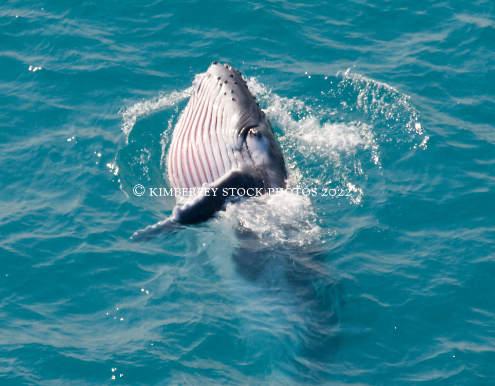 Humpback whale calf with rorqual pleats expanded.  This would seem to indicate feeding behaviour.