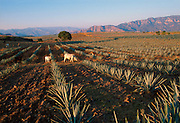 MEXICO, AGRICULTURE plantations making tequila