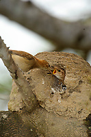 Rufous Hornero (Furnarius rufus) parent feeding chicks in nest,  The Pantanal, Mato Grosso, Brazil