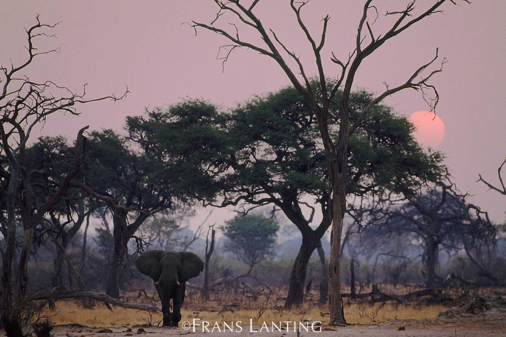 African elephant, Loxodonta africana, Chobe National Park, Botswana