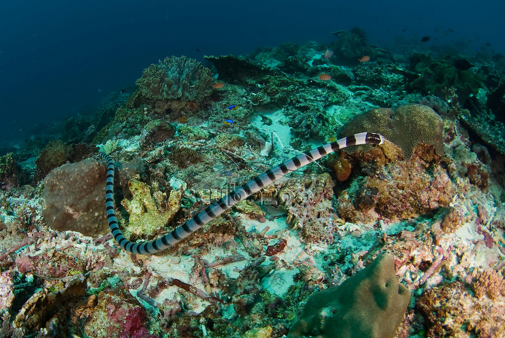 Ringed Sea Snake or Banded Sea Krait, Laticauda colubrina, on reef, Great Ocean Adventures shoot, Bali, Indonesia.