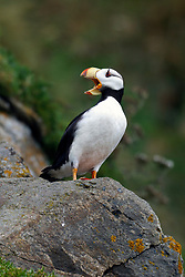 Horned Puffin (Fratercula corniculata) standing on a rock with beak open, Duck Island, Tuxedni Wilderness, Alaska Maritime National Wildlife Refuge, Alaska, United States of America