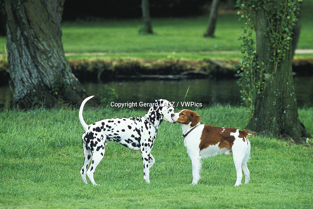 Dalmatian Dog meeting a Brittany Spaniel