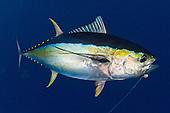 tuna, yellowfin