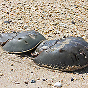 Horseshoe Crabs,<br />