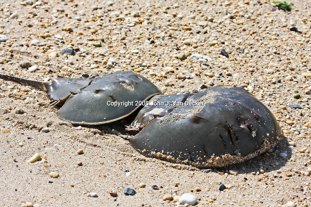 Horseshoe Crabs,<br /> Male Horseshoe crabs attach themselves to the rear of the larger female during spawning, As the female digs and lays eggs, the male fertilizes the eggs as it is dragged over them.