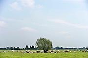 Nederland, Leuth, 7-8-2014Een kudde koeien staat buiten in de wei bij een boom. ze horen bij een biologisch bedrijf, biologische boer.FOTO: FLIP FRANSSEN/ HOLLANDSE HOOGTE