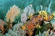 Los corales marinos son animales coloniales, salvo excepciones,nota 1 pertenecientes al filo Cnidaria, clase Anthozoa. Las colonias están formadas por hasta miles de individuos zooides y pueden alcanzar grandes dimensiones.<br /> <br /> Aunque los corales pueden atrapar plancton y pequeños peces con las células urticantes en sus tentáculos, la mayoría de los corales obtienen la mayor parte de sus nutrientes de las algas unicelulares fotosintéticas denominadas zooxantela, que viven dentro del tejido del coral. Estos corales requieren de luz solar y crecen en agua clara y poco profunda, normalmente a profundidades menores de 60 metros. Los corales pueden ser los principales contribuyentes a la estructura física de los arrecifes de coral que se formaron en aguas tropicales y subtropicales<br /> <br /> ©Alejandro Balaguer/Fundación Albatros Media.