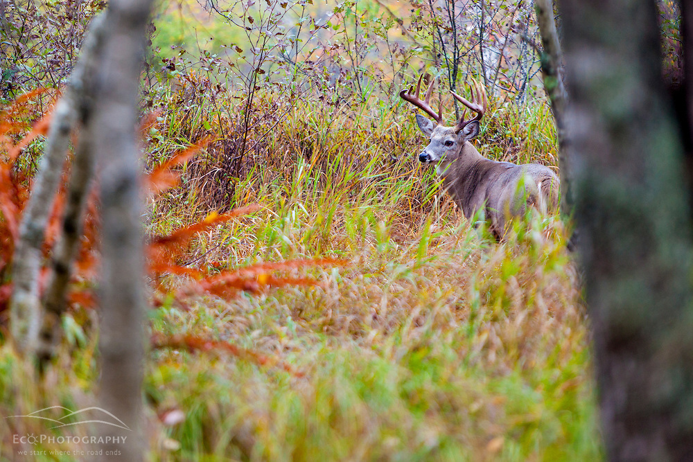 A white-tailed deer buck in Sieur de Monts at Acadia National Park, Maine.