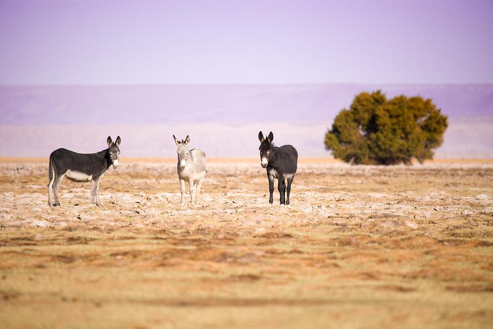 Donkeys in the Salar de Atacama (Atacama Salt lake), Tambillo, Los Flamencos National Reserve, Atacama desert, Chile, South America