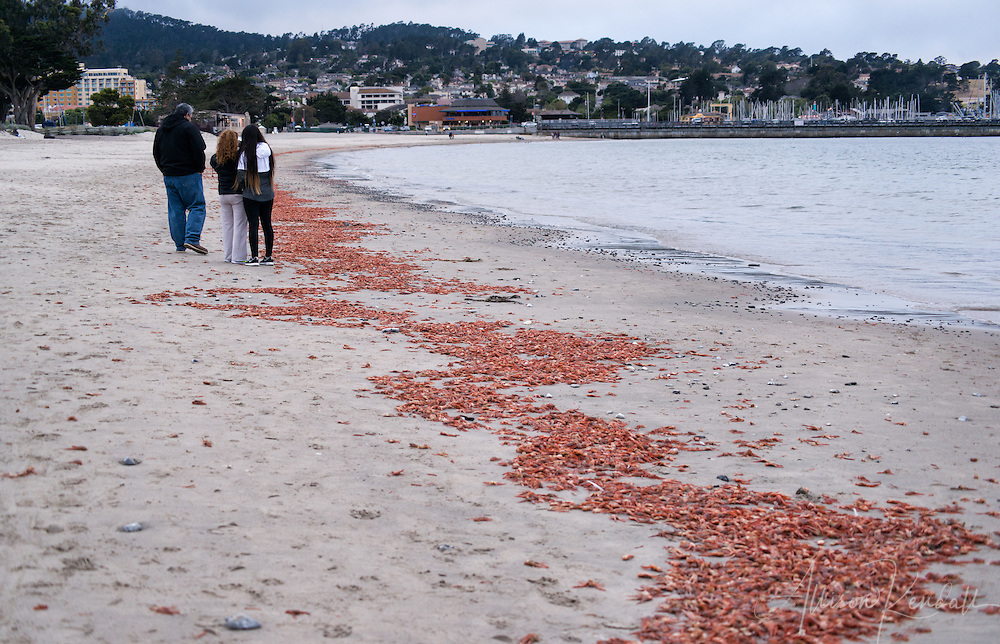 Pelagic red crab wash up by the millions onto the beaches of Monterey, California