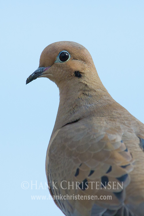 A mourning dove stands still for a head and shoulders portrait in soft light