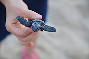 Israel, Atlit, Volunteers release green turtles, Chelonia mydas, after hatching for their first voyage to the Mediterranean Sea