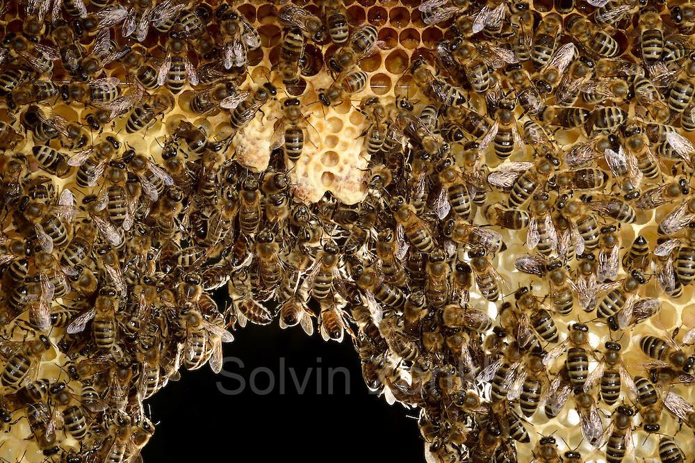 Honey bee (Apis mellifera), Kiel, Germany   Mit der Honigbiene (Apis mellifera) besetzte Brutwabe. In der Mitte der Wabe sind drei Königinnenzellen (Weiselzelle) zu sehen. Die Zellen werdnen von Arbeiterinnen gepflegt und bei richtiger Temperatur gehalten.  Kiel, Deutschland